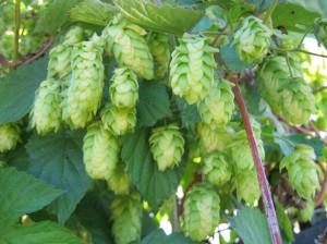 Hops Taff's variegated