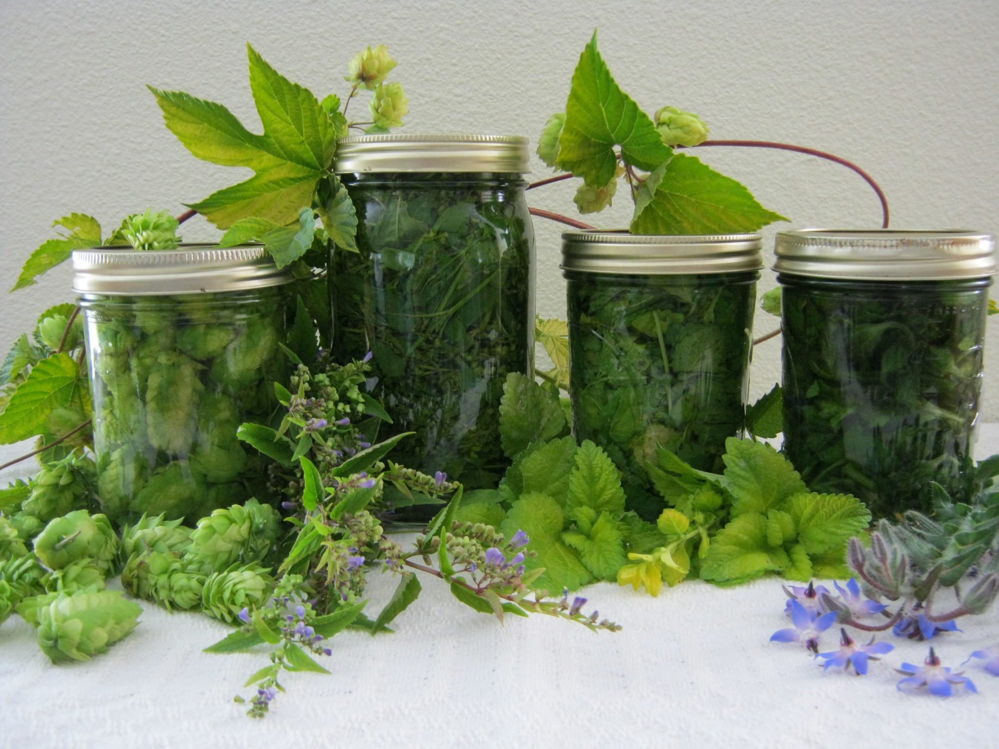 Hops (Taff's variegated hops) , Skullcap (Scutellaria lateriflora), Borage (Borago officinalis), Lemonbalm, (Melissa officinalis 'Gold Melisse')