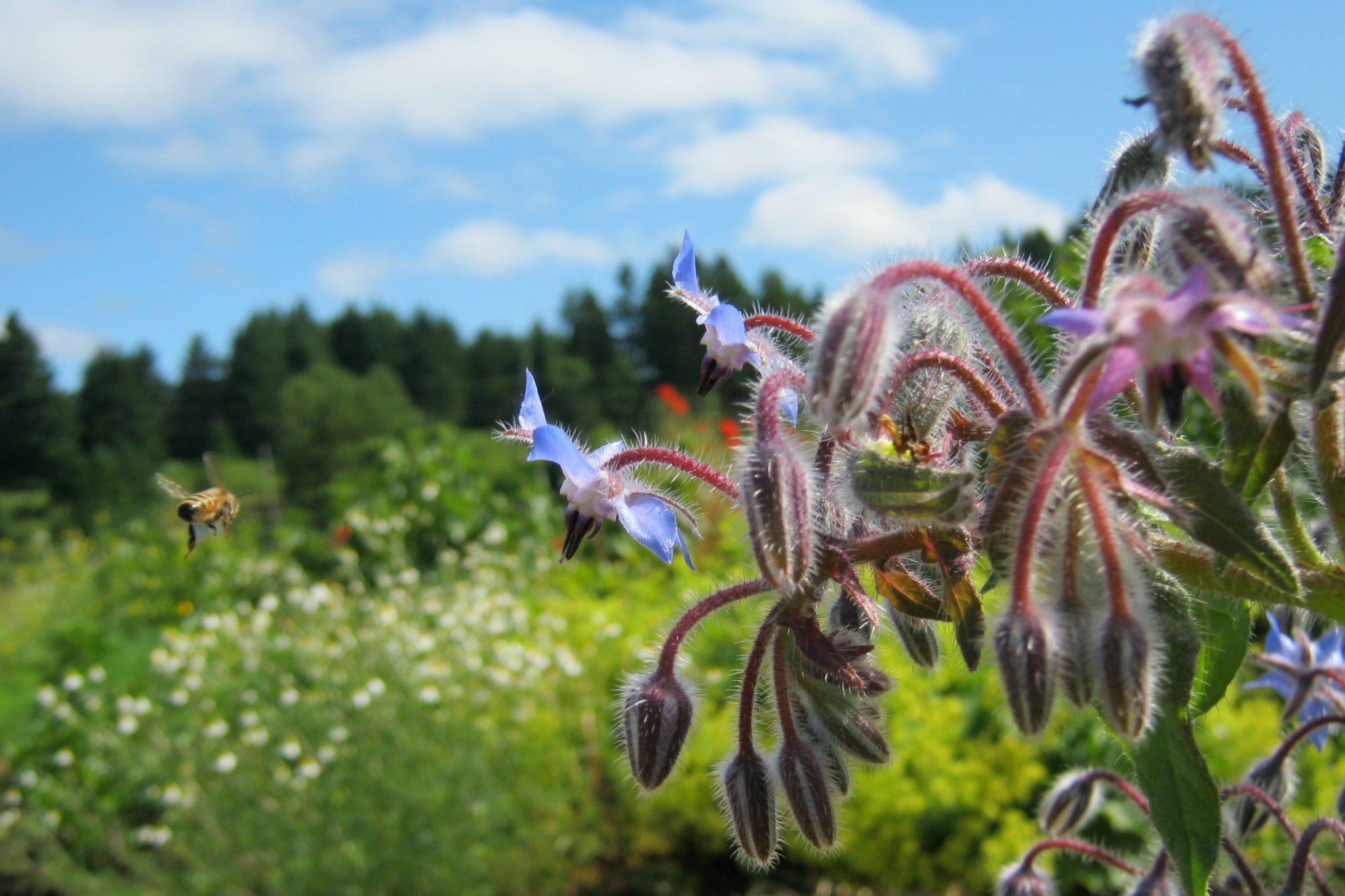 Borage and Bee in herb garden