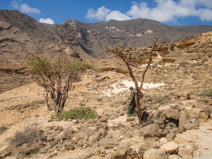 Frankincense trees in the wild Oman landscape | Green Cottage Creek | Klaus Vogt